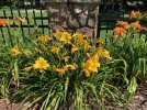 Day lillies Jun 2021 - 2.jpeg