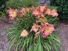 Day lillies Jun 2021 - 3.jpeg